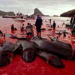 PilotWhaleSlaughterFaroeIslands4